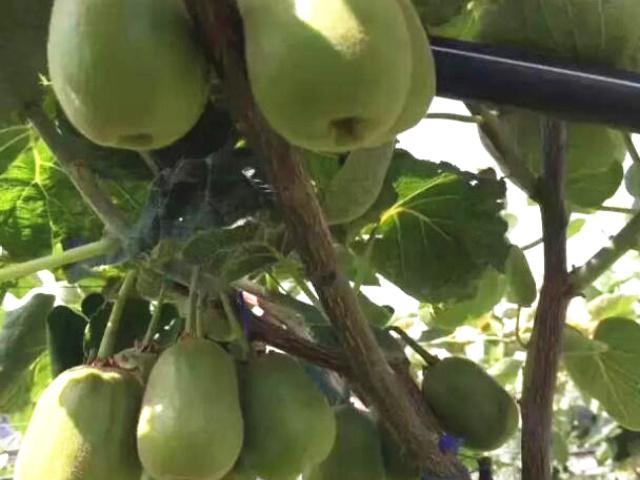 国内猕猴桃成熟最早的地区,发展潜力巨大!