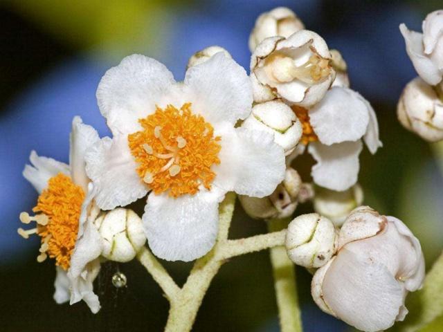 """猕猴桃""""小阳春"""",10月竟然开花,啥情况?"""